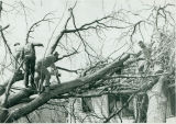Tornado damage 1976: Mennonites cutting trees