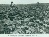 Madison County cotton field